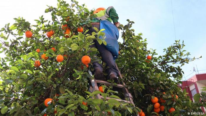 Seville oranges are picked