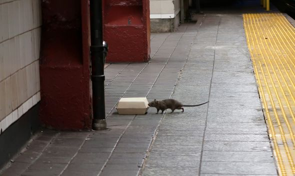 The weather creates a perfect storm for a rat infestation