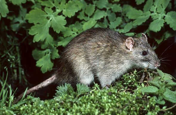 Hot and rainy weather creates a perfect storm for mice