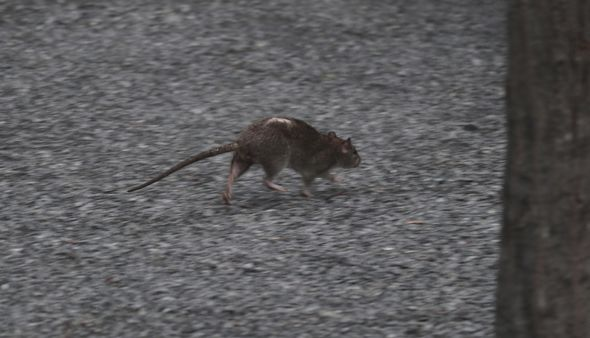 UK rat infestation